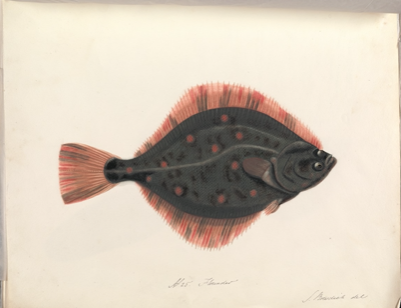 Drawing of flounder fish